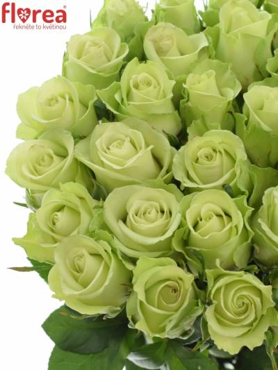 Zelená růže NOELLE!