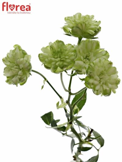 Zelená růže trsová WILD ECLAIRE 40cm/6+