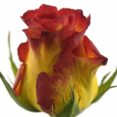 Žíhaná růže CATCH