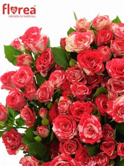 Žíhaná růže FIREWORKS 60cm/4+