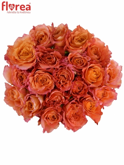 Žíhaná růže FREE SPIRIT