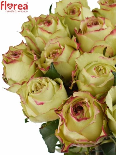 Žíhaná růže HYPNOSE 50cm
