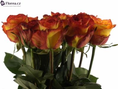 ROSA MAGIC LIPS 70cm
