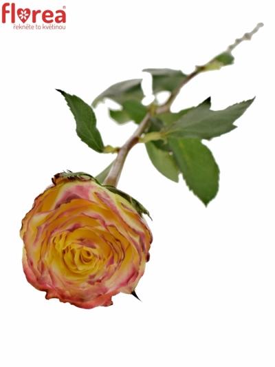 Žíhaná růže PIROUETTE