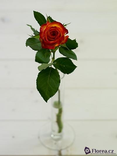 Žíhaná růže TUCAN 70cm