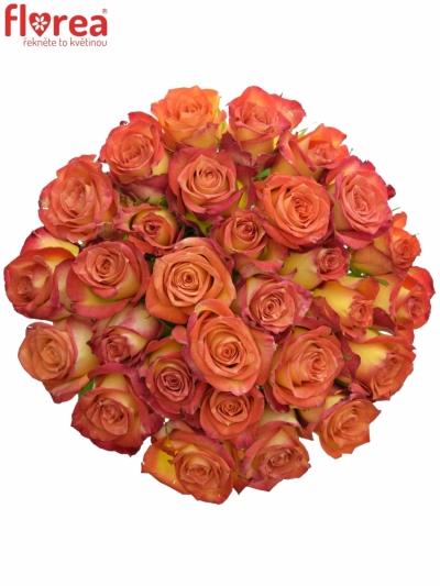 Žíhaná růže UTOPIA 40cm (S)