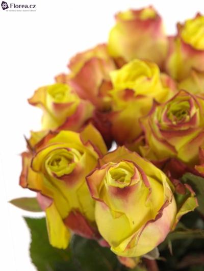 Žíhaná růže WILDFIRE