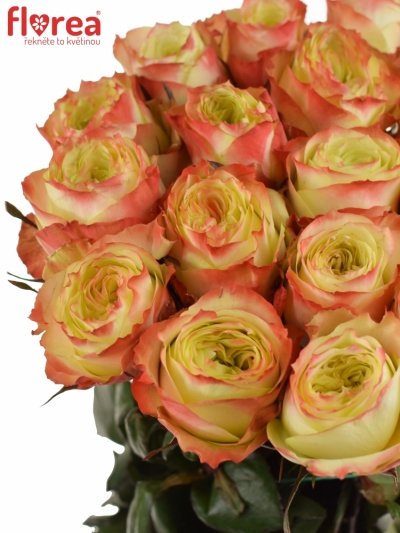 Žlutá růže ADVENTURE 50cm (XL)