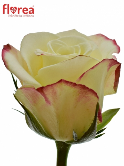 Žlutá růže ALISON 60cm