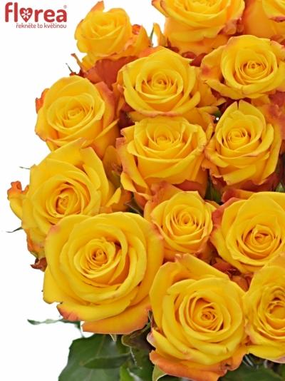 Žlutá růže CANDLELIGHT