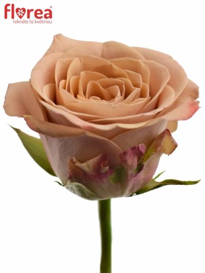 Žlutá růže CAPPUCCINO 30cm (L)