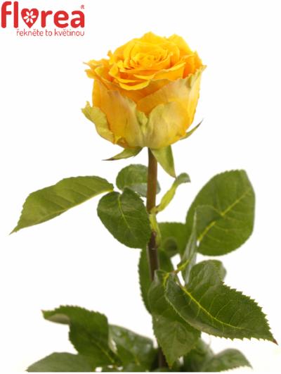 ROSA COSIMA 50cm