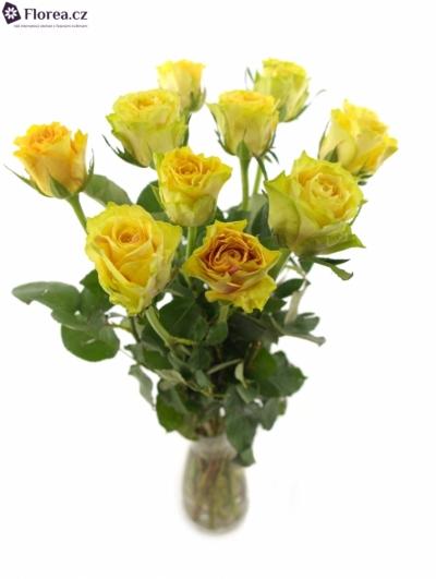 Žlutá růže CUBA GOLD
