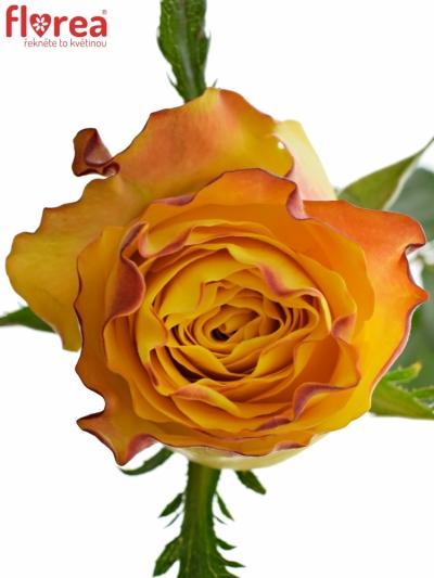ROSA DOWNTOWN! 60cm (L)