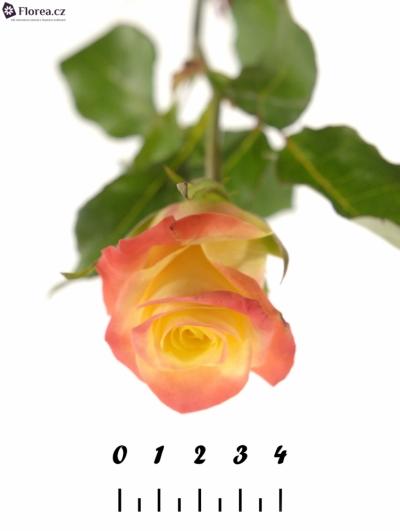 Žlutá růže FLORIDA 70cm