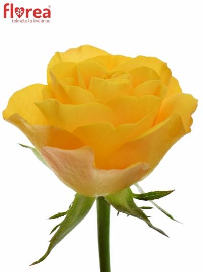 ROSA GOLDEN FLUSH 50cm (M)