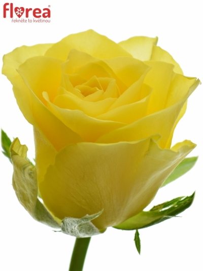 Žlutá růže GOLDEN TOWER 50cm (M)