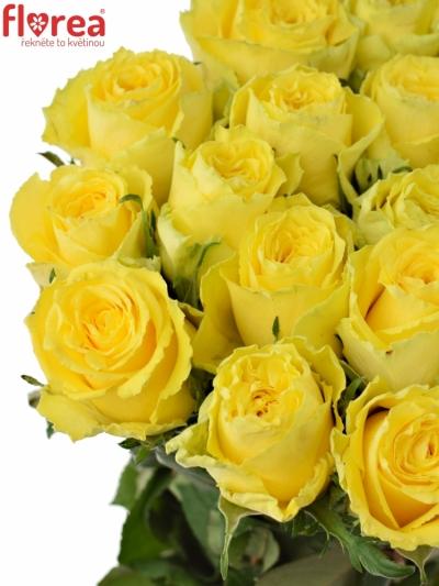 Žlutá růže GOOD TIMES 60cm