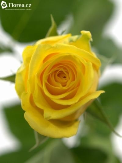 Žlutá růže SOLAIRE 45cm