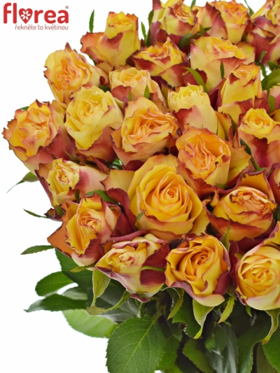 ROSA HIGH & MAGIC FLAME 60cm (M)