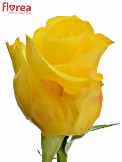 Žlutá růže INTENSE 40cm
