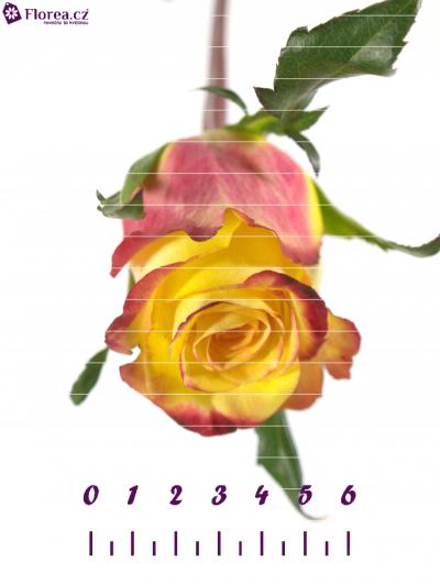 Žlutá růže KNOX 80cm (L)
