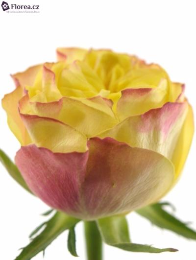 Žlutá růže MADAGASCAR