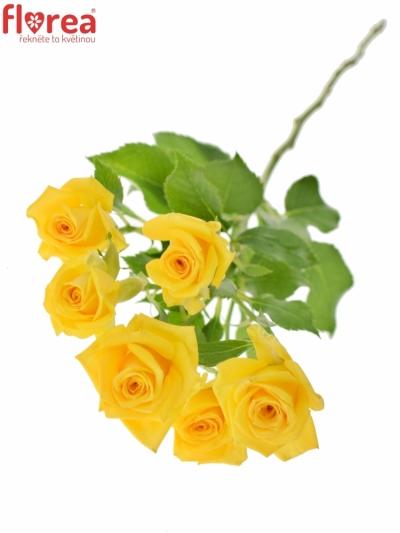 Žlutá růže MARIAH 60cm/5+