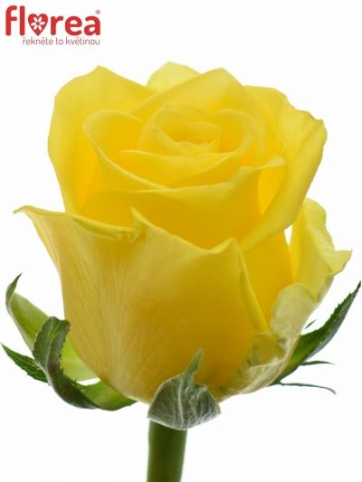 Žlutá růže MOONWALK