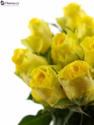 Žlutá růže PENNY LANE