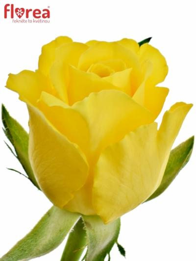 Žlutá růže RADIANCE 40cm (M)
