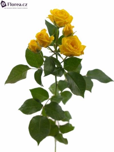 ROSA TR SHINE 50cm/3+
