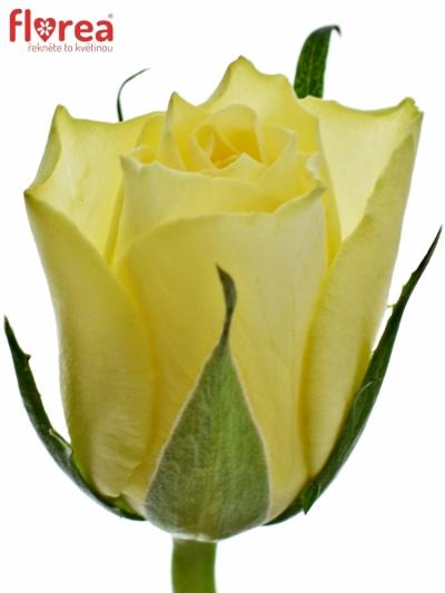 ROSA SKIPPY 50cm (S)