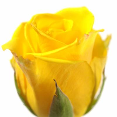 Žlutá růže Sonrisa
