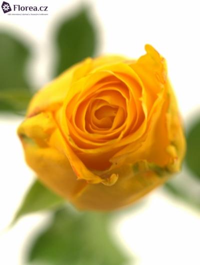 Žlutá růže SPOTLIGHT