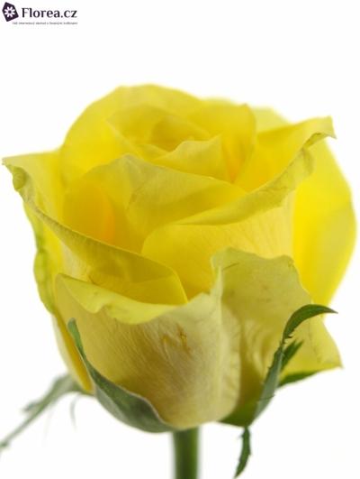 Žlutá růže STARDUST