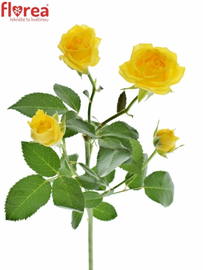 Žlutá růže TARANTELLA 50cm/4
