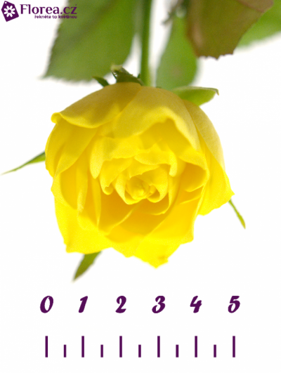 Žlutá růže TOPSUN! 70cm