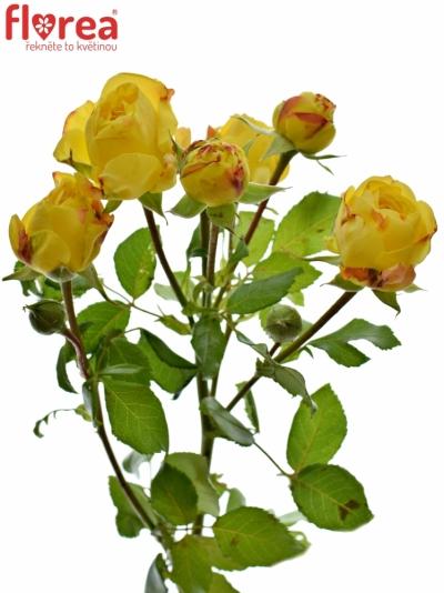 Žlutá růže trsová LEMON POMPON FREELANDER 40cm/5+