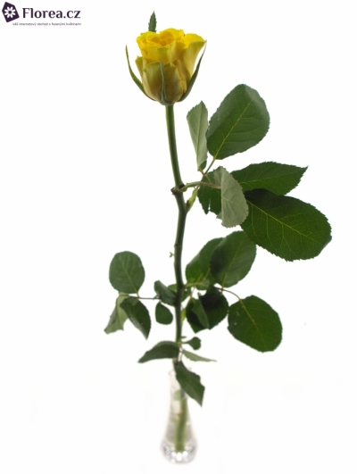 ROSA VIVA 70cm (S)