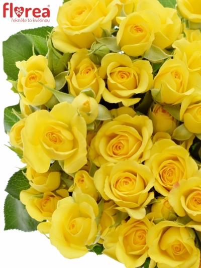 Žlutá růže trsová YELLOW BABE 40cm/3+