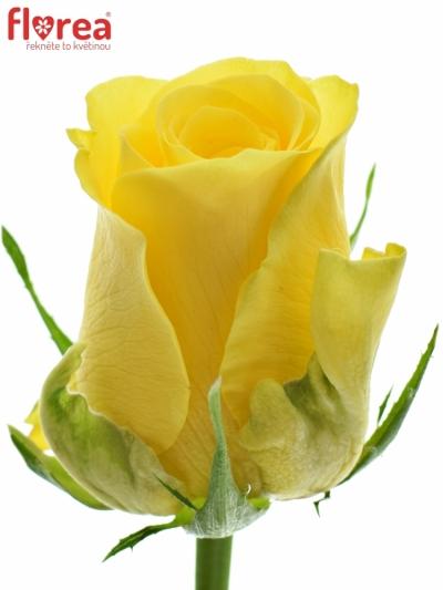Žlutá růže YELLOWEEN 80cm (M)