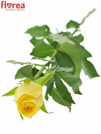ROSA YELLOWEEN 80cm (M)