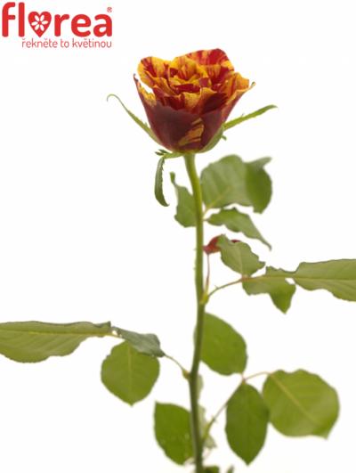 Žlutočervená růže FIRE CRACKER 40cm
