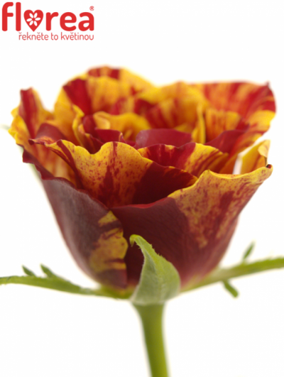 ROSA FIRE CRACKER 60cm (S)