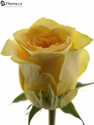 Žlutočervená růže GOLDEN TEMPLE