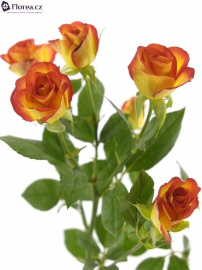 Žlutočervená růže MIC MAC