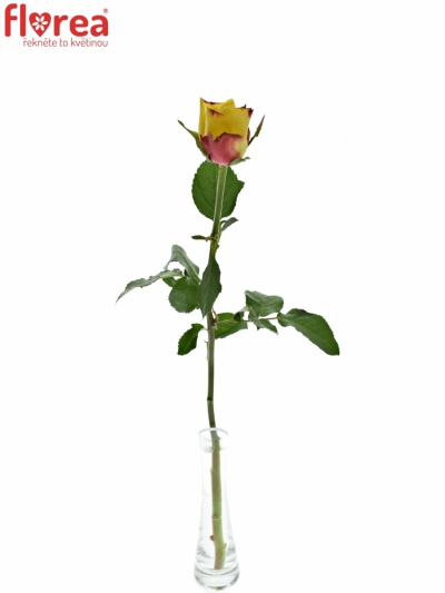 ROSA NEWSFLASH 70cm (L)