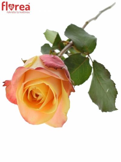 Žlutočervená růže PEBBLES 50cm