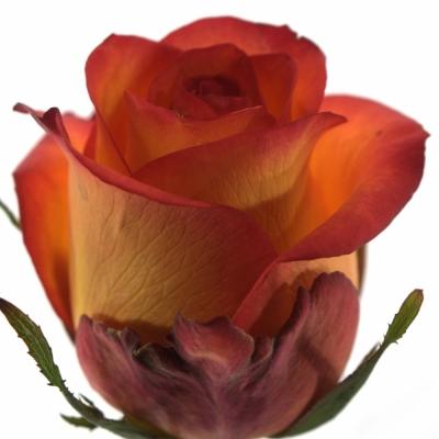 Žlutočervená růže SKYFIRE
